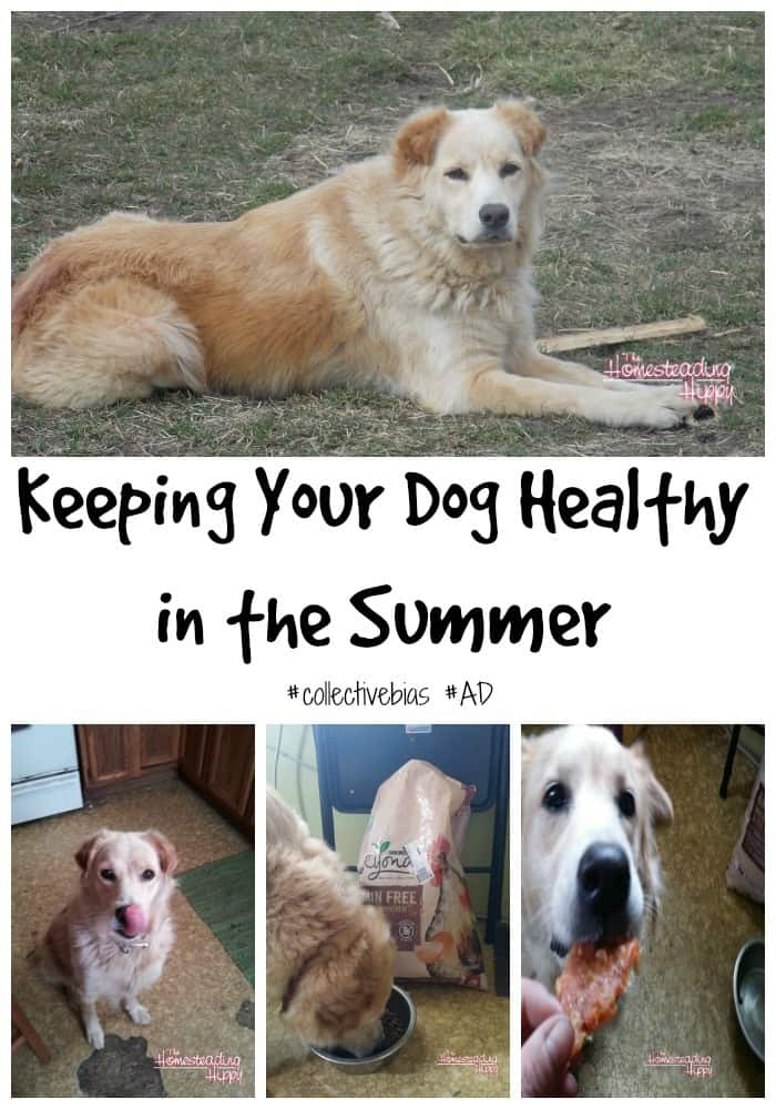 keeping dog healthy in the summer ~The Homesteading #homesteadhippy #dog #fromthefarm #BeyondSummer #CollectiveBias