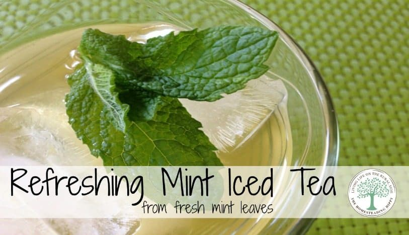 How to make refreshing mint iced tea with fresh tea leaves. The Homesteading Hippy #homesteadhippy