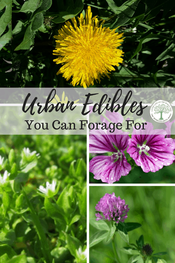Don't spray those weeds! Many of them are urban edibles, with amazing health benefits to boot! It's like free food in your yard; learn to eat weeds! The Homesteading Hippy