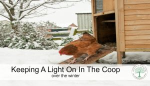 A chicken needs a certain number of daylight hours to lay consistently. Do you supplement in the winter months? Here's why we do. The Homesteading Hippy