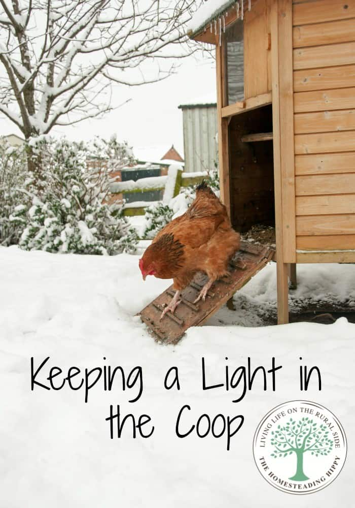 A chicken needs a certain number of daylight hours to lay consistently. Do you supplement in the winter months? Here's why we do. The Homesteading Hippy #homesteadhippy #fromthefarm #theurbanchicken