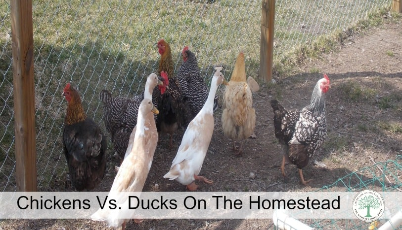 Chickens or Ducks?  Which poultry is best for a small homestead?  Find out pros and cons of each! The Homesteading Hippy