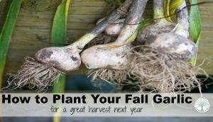 Time to Plant Your Garlic