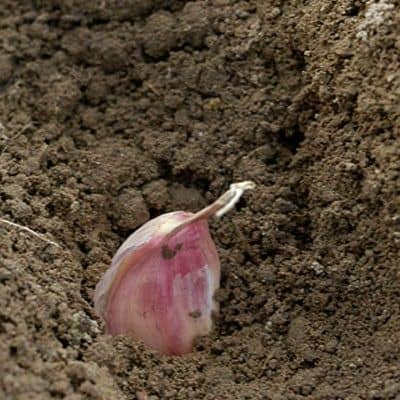 planting garlic step 2