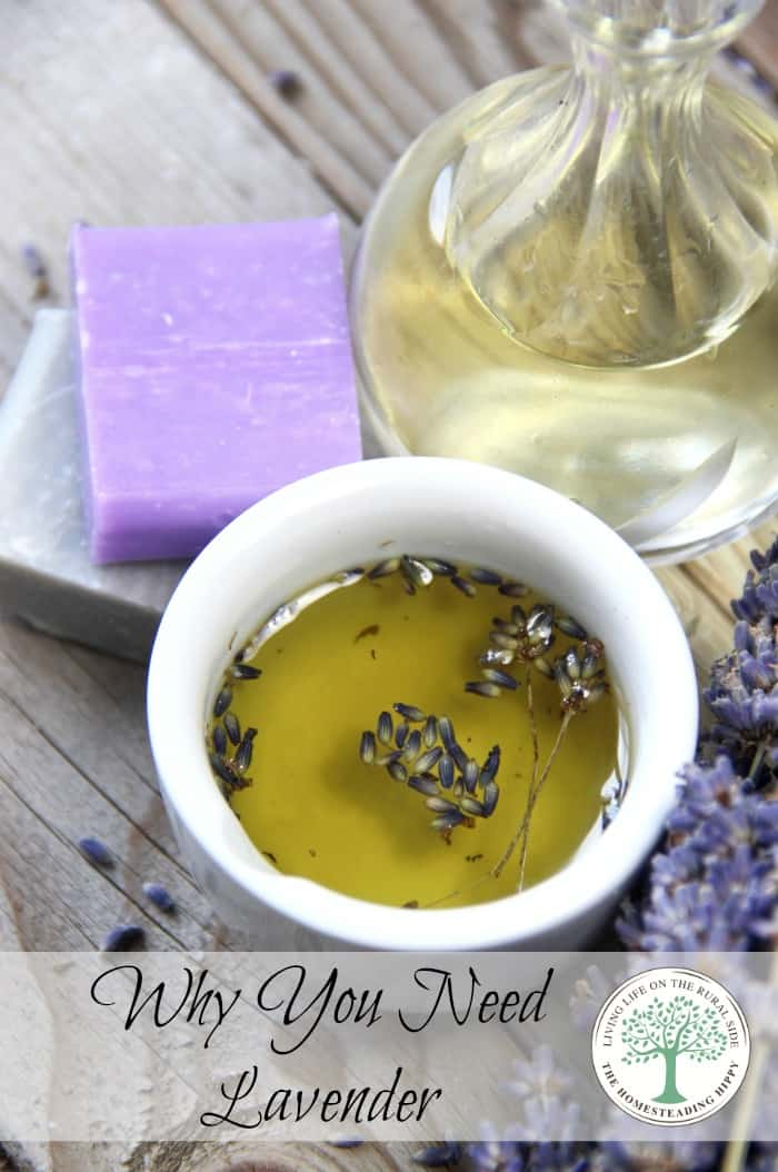 Lavender is a must have for every home, whether it be in herb or essential oil, or BOTH.  Find out why YOU should have this! TheHomesteadingHippy #homesteadhippy #fromthefarm #herbs #lavender