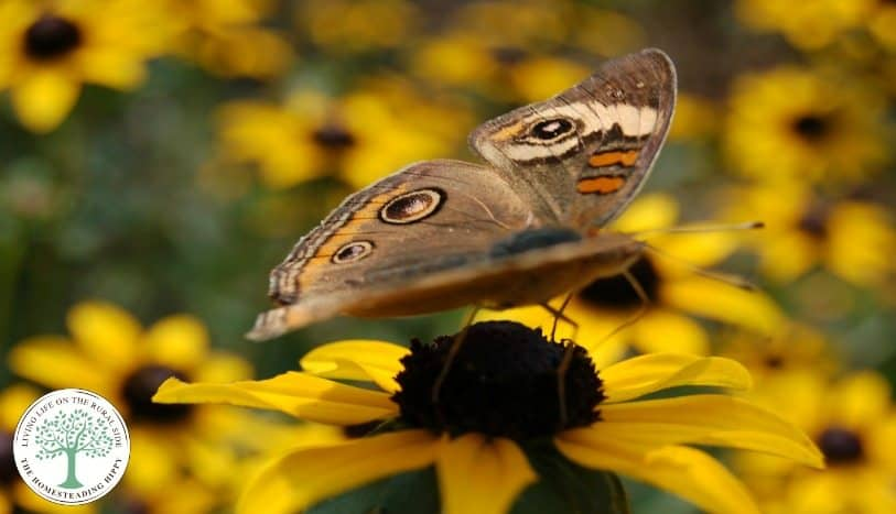 butterfly on black eyed susan