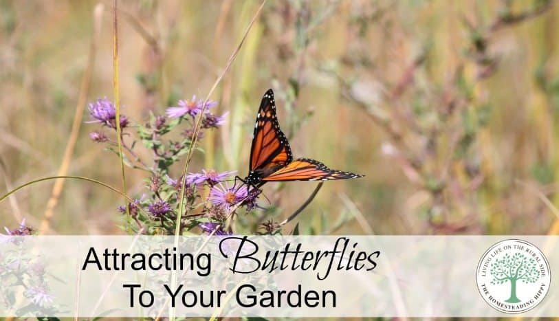 Attract some butterflies to your garden with these pretty flowers! The Homesteading Hippy