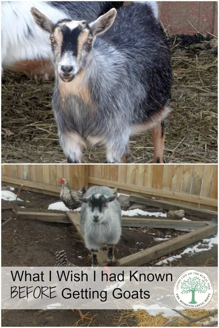Getting goats is a step toward your own self sufficiency, even for a small time homesteader like me.  What I wish I had known before we got our first goats. The Homesteading Hippy #homesteadhippy #goats