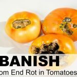"How to Banish Blossom Rot Blossom rot, or blossom end rot, is a common problem encountered by tomato gardeners. The condition is characterized by a dark, rotten spot at the blossom end of developing tomatoes. Fortunately, there are ways to combat blossom rot before it starts, but once it appears on an individual fruit, there is no way to ""cure"" the affected tomato. Although you can cut away the rotted portion and safely eat the rest, it is best to eliminate the problem before it reaches that point. So, how does blossom rot start… and more importantly, how you can prevent it from showing up in the first place? Blossom rot first presents as a dime or quarter-sized brown or black spot on the end of the tomato opposite the stem. Unfortunately, you may find this small blossom end rot spot signifies that the tomato is totally rotted out inside. Unchecked, you can lose a large portion of your entire tomato crop to this condition. As always, prevention is the best medicine. What causes blossom rot to start is a deficiency in calcium. In order for tomato plants to grow their fruit properly, they need an adequate amount of calcium. Even if you have plenty of calcium in your soil, your plants may not be able to effectively absorb it for a number of reasons. When this occurs, your plants are at risk of contracting blossom rot. Therefore, the way to prevent blossom rot is to ensure your plants have access to enough calcium and are able to absorb it appropriately. Before you plant your tomatoes, be sure to have your soil tested or do it yourself with an inexpensive soil testing kit. Ideally, your soil should be slightly acidic, with a pH somewhere between 6.0 and 6.8. If your soil is too acidic, you can add some limestone or lime to increase the pH. Use caution when adding these amendments, however. If you add too much, you'll end up with soil that is too alkaline. If this occurs, or if your soil is naturally alkaline, you can amend it with rich organic matter, elemental sulfur or an acidifying fertilizer, such as ammonium sulfate. It can be very challenging to lower soil pH, however, because limestone in the ground is continually dissolving. If you live in an area where alkaline soil is a fact of life, you may want to build raised beds to create a more hospitable growing environment for your plants. Once your soil is at the optimum pH level, you'll want to ensure your plants are receiving enough water on a consistent basis. Optimal tomato growth requires regular and deep watering so that water gets all the way down to the entire root system. Tomatoes won't flourish if you allow them to go dry between watering sessions. So, be sure your plants receive 1 to 1.5 inches of water per week, but don't go overboard and give them too much. Fortunately, blossom rot usually shows up at the very beginning of the season as first fruits appear. If you notice your tomatoes are showing possible signs of blossom rot, make sure your plants are watered deeply every 4 to 5 days. If it is extremely hot in your area, water them even more frequently. To determine when it is time to water your plants, dig down 3 or 4 inches into the soil. If the soil is moist, wait 24 hours and check again. When the soil at that level is dry, it is time to water again. Finally, many tomato gardeners also swear by liquid kelp extract or kelp fertilizer as a way to combat blossom rot. Kelp is a very nutrient-rich form of seaweed with many useful gardening applications. The extract and fertilizer are readily available in local garden centers, large home improvement stores or via online retailers. You may want to test it out on part of your garden to see how it works for you. Although blossom rot can be a challenging garden dilemma, a little preparation and planning will go a long way towards banishing it from your garden."