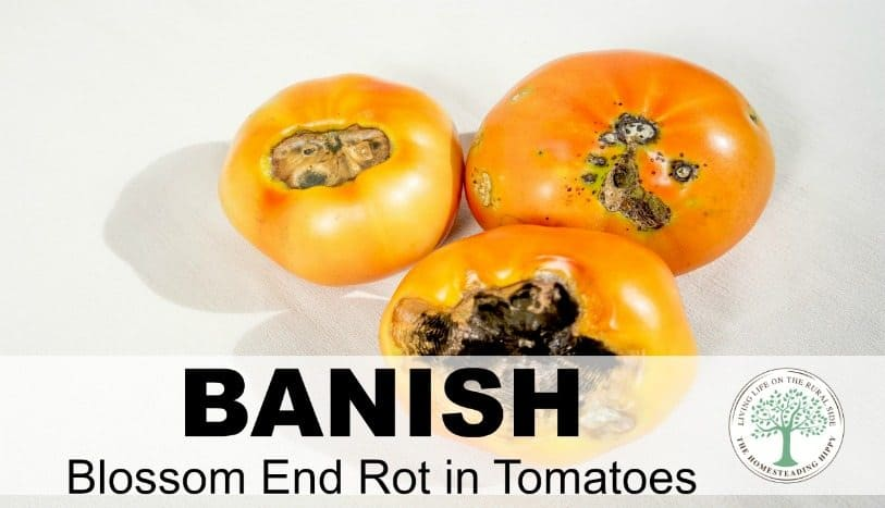 "How to Banish Blossom Rot Blossom rot, or blossom end rot, is a common problem encountered by tomato gardeners. The condition is characterized by a dark, rotten spot at the blossom end of developing tomatoes. Fortunately, there are ways to combat blossom rot before it starts, but once it appears on an individual fruit, there is no way to ""cure"" the affected tomato. Although you can cut away the rotted portion and safely eat the rest, it is best to eliminate the problem before it reaches that point. So, how does blossom rot start… and more importantly, how you can prevent it from showing up in the first place? Blossom rot first presents as a dime or quarter-sized brown or black spot on the end of the tomato opposite the stem. Unfortunately, you may find this small blossom end rot spot signifies that the tomato is totally rotted out inside. Unchecked, you can lose a large portion of your entire tomato crop to this condition. As always, prevention is the best medicine. What causes blossom rot to start is a deficiency in calcium. In order for tomato plants to grow their fruit properly, they need an adequate amount of calcium. Even if you have plenty of calcium in your soil, your plants may not be able to effectively absorb it for a number of reasons. When this occurs, your plants are at risk of contracting blossom rot. Therefore, the way to prevent blossom rot is to ensure your plants have access to enough calcium and are able to absorb it appropriately. Before you plant your tomatoes, be sure to have your soil tested or do it yourself with an inexpensive soil testing kit. Ideally, your soil should be slightly acidic, with a pH somewhere between 6.0 and 6.8. If your soil is too acidic, you can add some limestone or lime to increase the pH. Use caution when adding these amendments, however. If you add too much, you'll end up with soil that is too alkaline. If this occurs, or if your soil is naturally alkaline, you can amend it with rich organic matter or an acidifying fertilizer, commonly found in chicken manure. It can be very challenging to lower soil pH, however, because limestone in the ground is continually dissolving. If you live in an area where alkaline soil is a fact of life, you may want to build raised beds to create a more hospitable growing environment for your plants. Once your soil is at the optimum pH level, you'll want to ensure your plants are receiving enough water on a consistent basis. Optimal tomato growth requires regular and deep watering so that water gets all the way down to the entire root system. Tomatoes won't flourish if you allow them to go dry between watering sessions. So, be sure your plants receive 1 to 1.5 inches of water per week, but don't go overboard and give them too much. Fortunately, blossom rot usually shows up at the very beginning of the season as first fruits appear. If you notice your tomatoes are showing possible signs of blossom rot, make sure your plants are watered deeply every 4 to 5 days. If it is extremely hot in your area, water them even more frequently. To determine when it is time to water your plants, dig down 3 or 4 inches into the soil. If the soil is moist, wait 24 hours and check again. When the soil at that level is dry, it is time to water again. Finally, many tomato gardeners also swear by liquid kelp extract or kelp fertilizer as a way to combat blossom rot. Kelp is a very nutrient-rich form of seaweed with many useful gardening applications. The extract and fertilizer are readily available in local garden centers, large home improvement stores or via online retailers. You may want to test it out on part of your garden to see how it works for you. Although blossom rot can be a challenging garden dilemma, a little preparation and planning will go a long way towards banishing it from your garden."