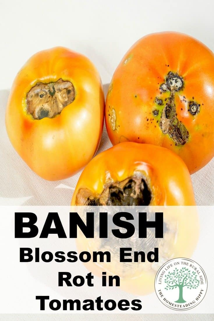 Banish blossom end rot before it begins in your tomatoes! The Homesteading Hippy