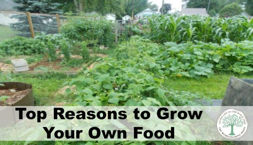 From avoiding industrial chemicals and deadly bacteria causing food recalls, here are the top reasons to grow your own food! The Homesteading Hippy