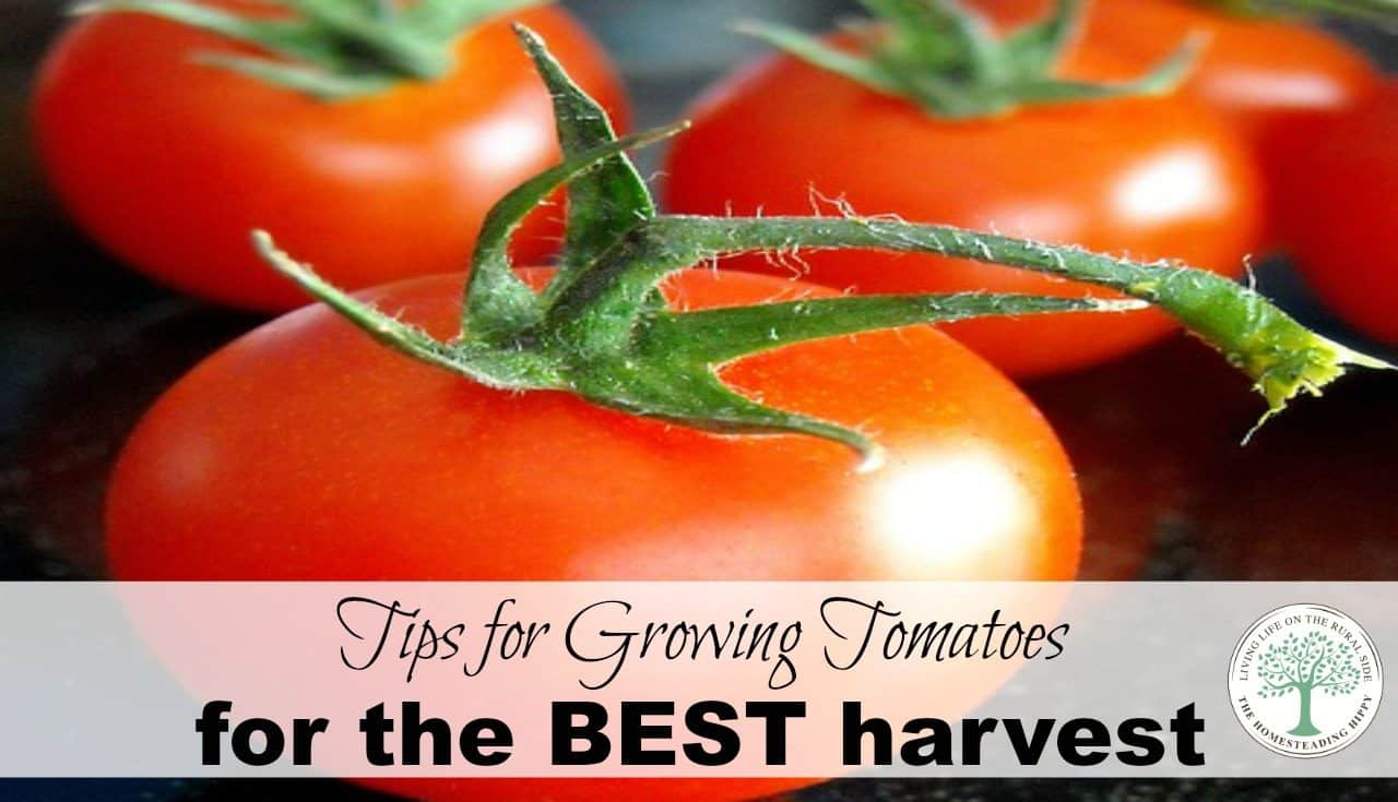 If You Want To Grow The Healthiest And Most Delicious Tomato Plants Possibly Can This Gardening Season There Are Just A Few Things Help Ensure