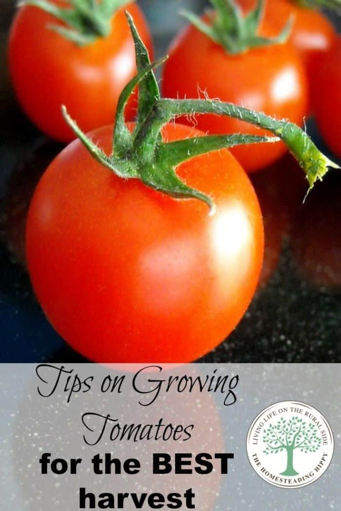 growing tomatoes pin