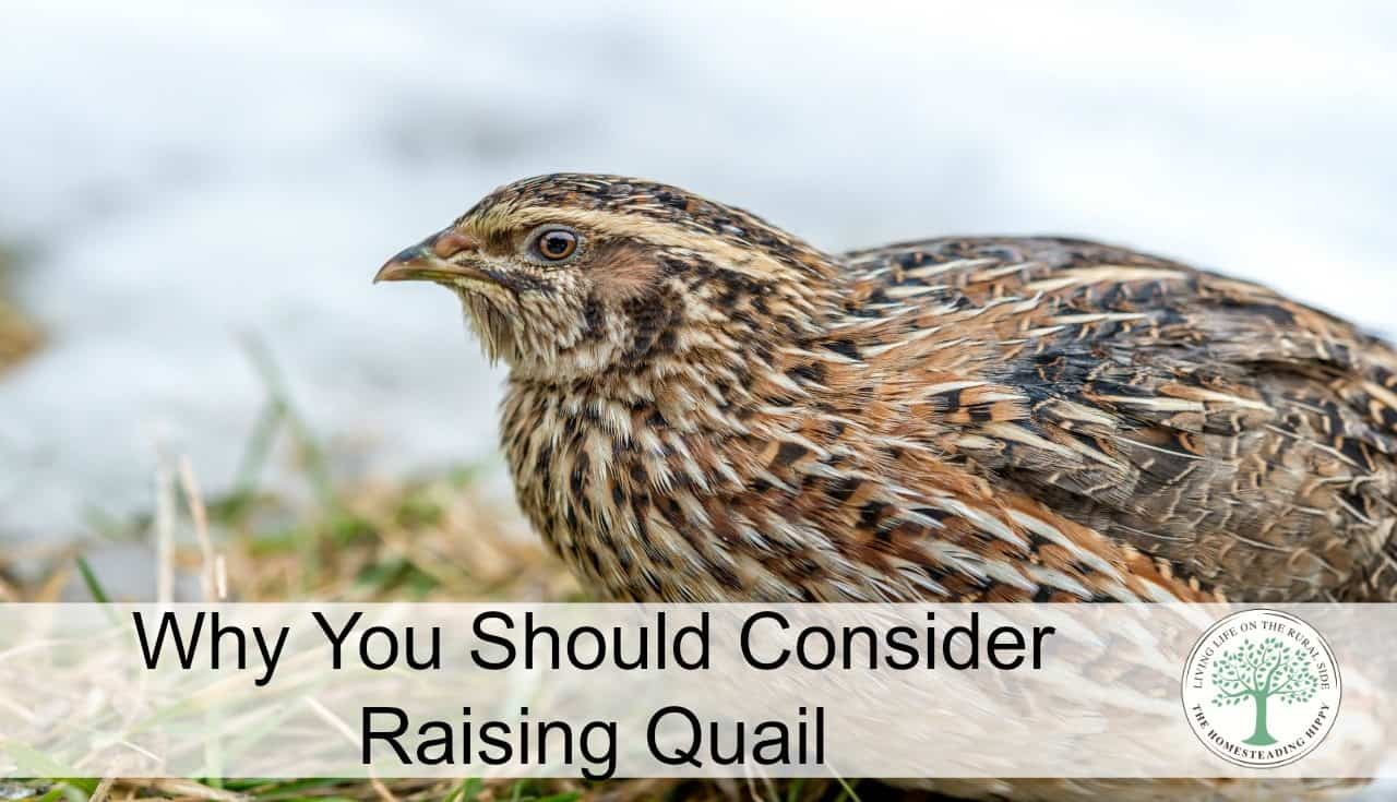 Why You Should Consider Quail Farming Raising Quail