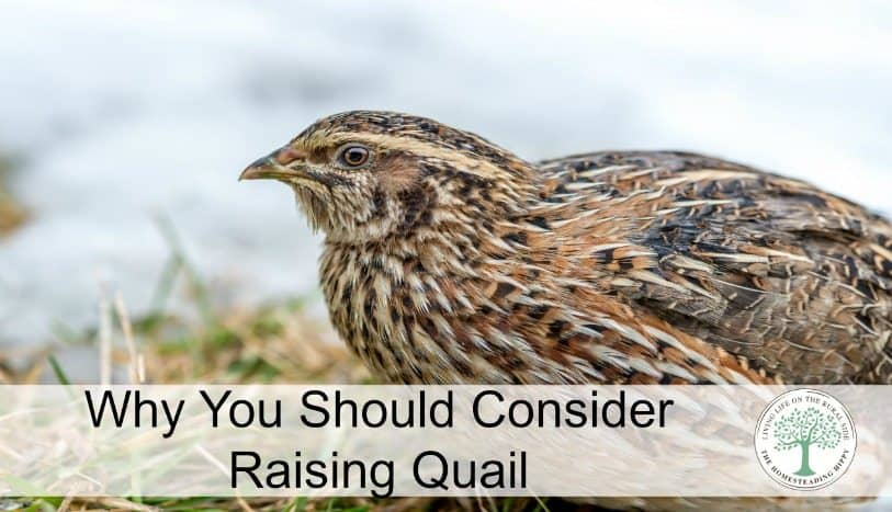 "Being an urban homesteader is ""vogue"" now. But, what if you can't have chickens in your yard? Quail may be the answer! Learn why you should consider raising quail! The Homesteading Hippy"