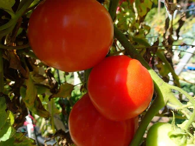 Blossom end rot can be the most frustrating gardening problem to deal with. Banish it BEFORE it begins in your tomatoes! The Homesteading Hippy