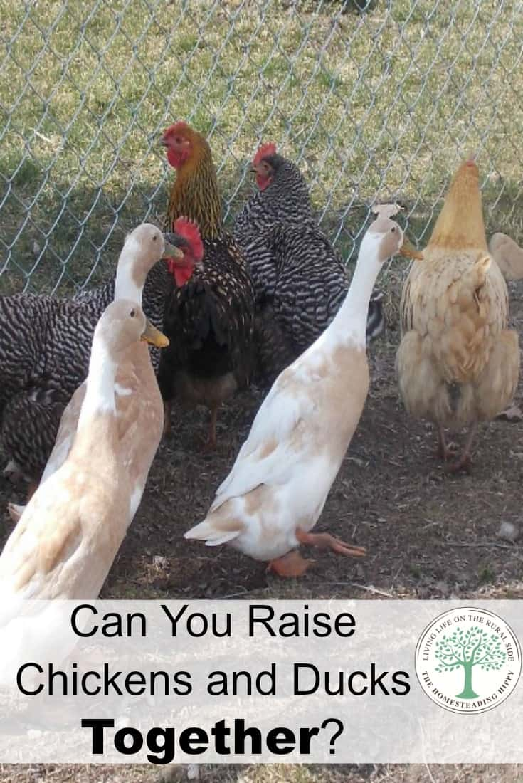 YCan ducks and chickens live together in the same coop or barn? Here's some pros and cons of having them together i the same flock. The Homesteading HIppy