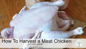 How to Harvest a Chicken