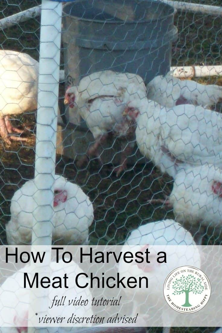 This video will show you how to harvest a meat chicken humanely step by step for human consumption. The Homesteading Hippy