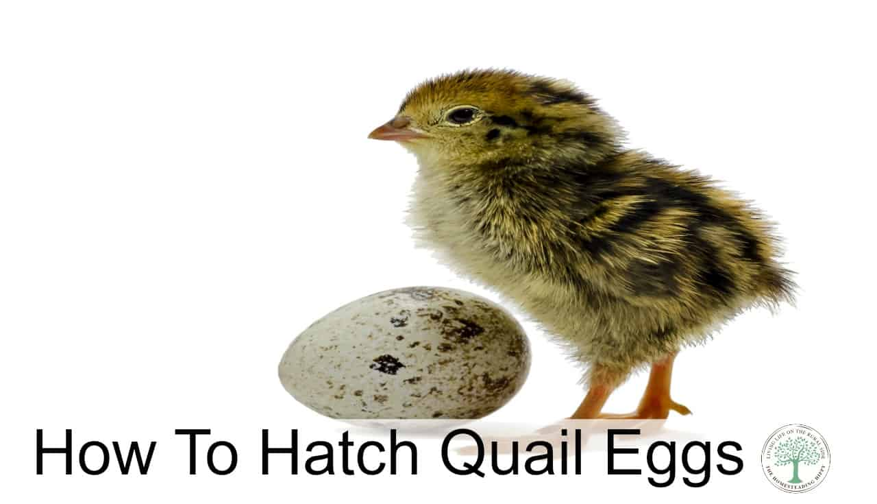 How To Hatch Quail Eggs The Homesteading Hippy