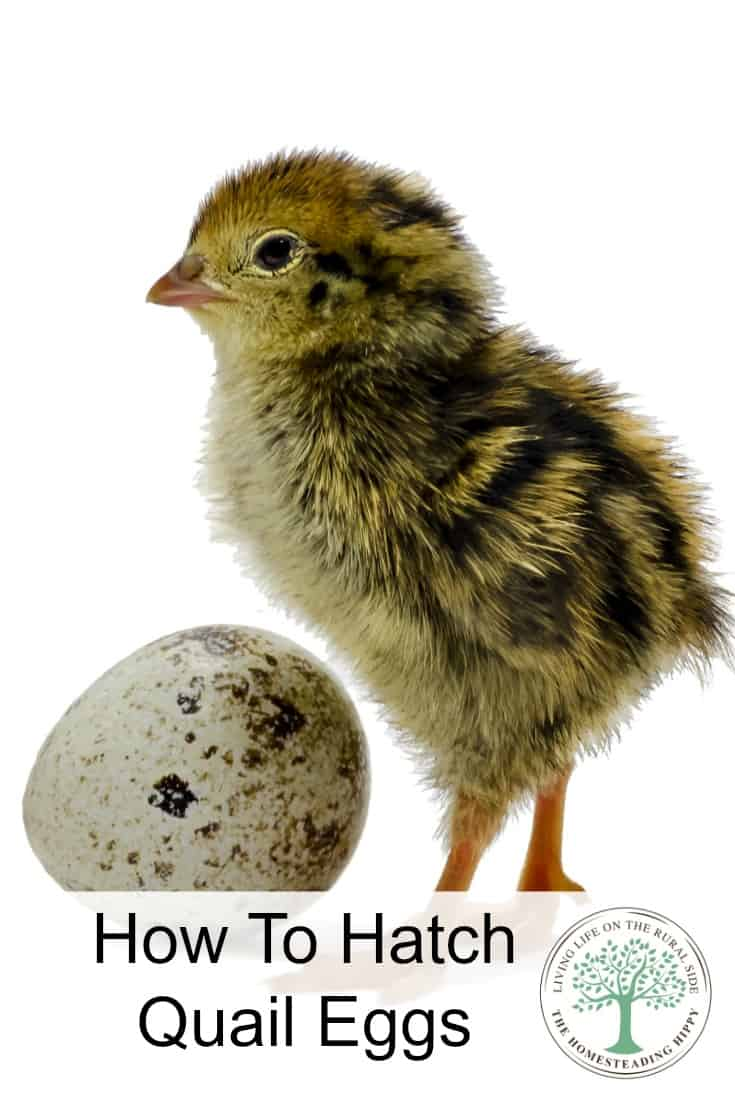 Adding quail to your homestead? Learn some tips on how to hatch quail eggs successfully! The Homesteading Hippy