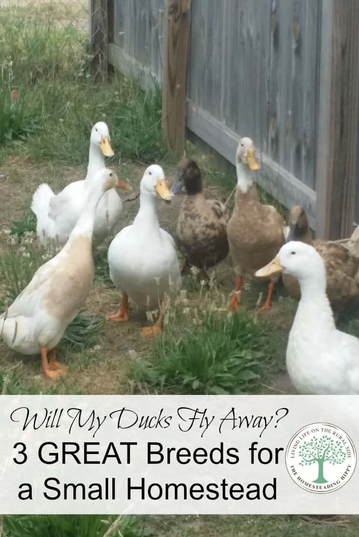 Considering adding ducks to your homestead and worried the ducks will fly away? Here are 3 great breeds to consider for a small homestead. The Homesteading Hippy