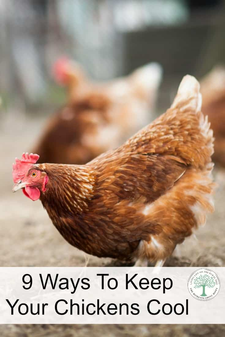 A chicken or turkey can get heat stroke and even die if they get too hot. Here are 9 easy ways to keep your chickens cool in hot weather.