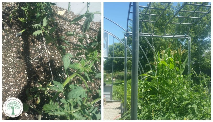 Got tomatoes?  Support the plants and keep the fruit off the ground with an easy to build tomato trellis! The Homesteading Hippy
