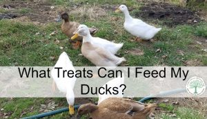 What You Should Feed Your Ducks