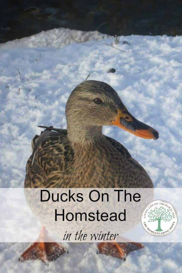 ducks homestead winter pin