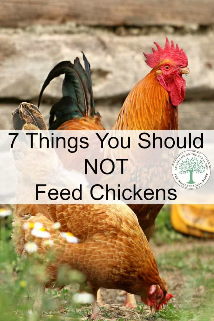 feed chickens pin