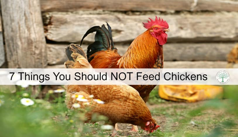 Feeding chickens is usually pretty easy. Some get feed from the store, some get scraps. But did you know some food is dangerous for chickens? Here's a list of what Not to feed chickens! The Homesteading Hippy