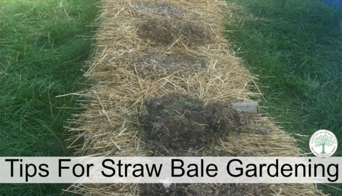 Straw Bale Gardening Instructions For A Great Weed Free Garden The Homesteading Hippy