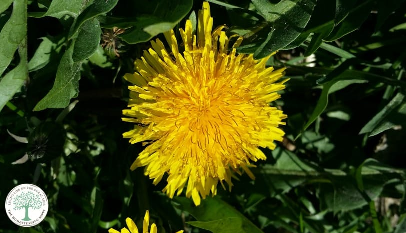 Make a delicious, liver supporting dandelion tea from all the weeds in your yard! Try this dandelion tea today, and find a recipe for dandelion coffee! The Homesteading Hippy
