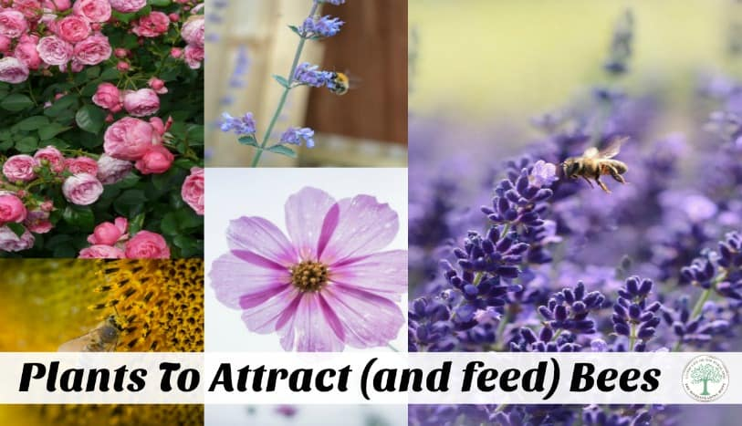 Save the bees! Help attract them to your garden by planting some of these flowers they love! The Homesteading Hippy