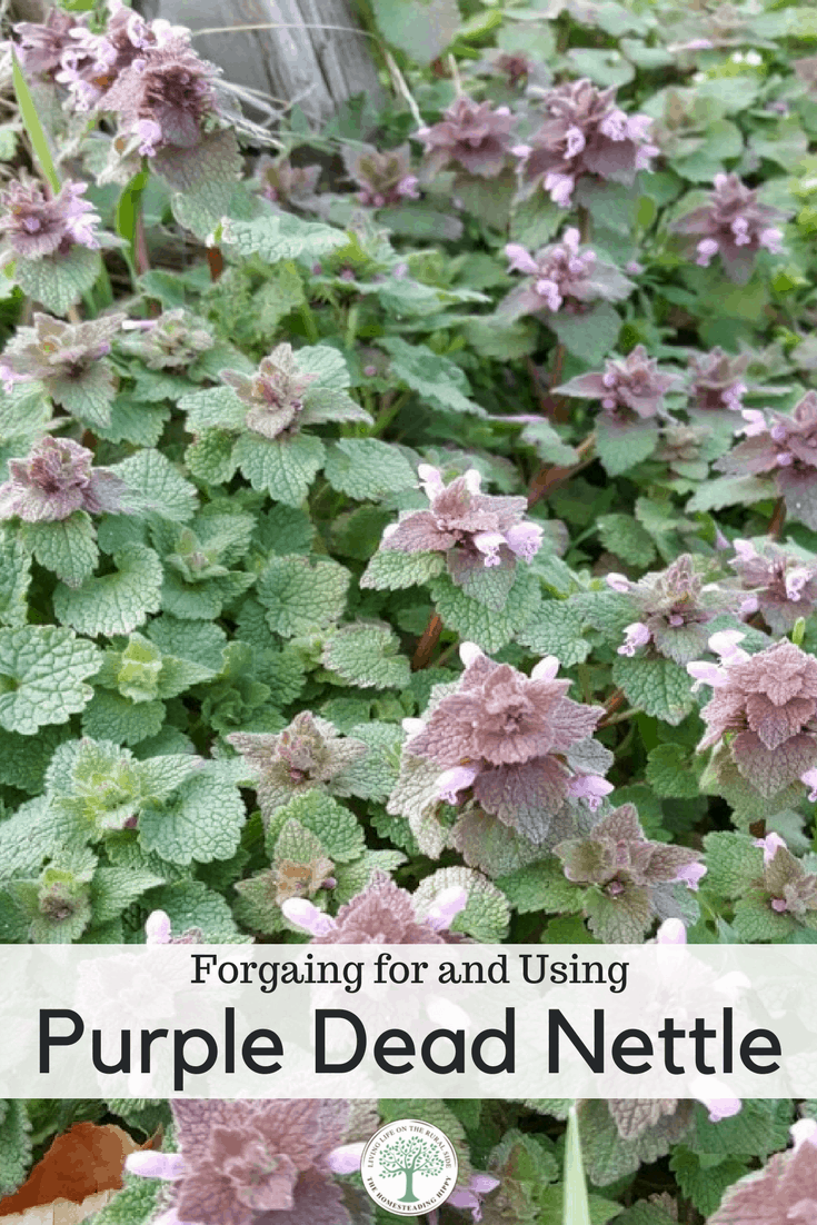 In the Spring, this weed can be all over! Learn why you should be foraging for dead nettle and some dead nettle recipes to use it!