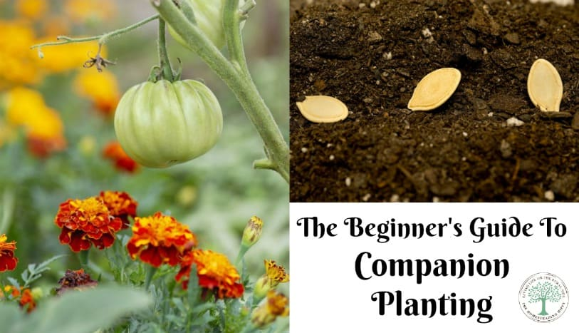 Some plants grow better together than others and can even work together synergistically. This beginner's guide to companion planting will help you get started on the right track. The Homesteading Hippy