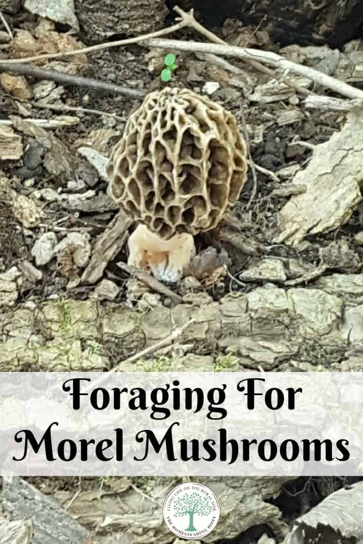 You know Spring is here when the morels are ready! How to fgo foraging for morel mushrooms! The Homesteading Hippy