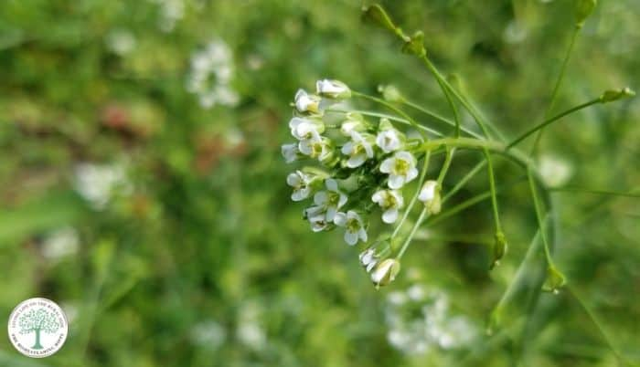 shepherds purse flowers