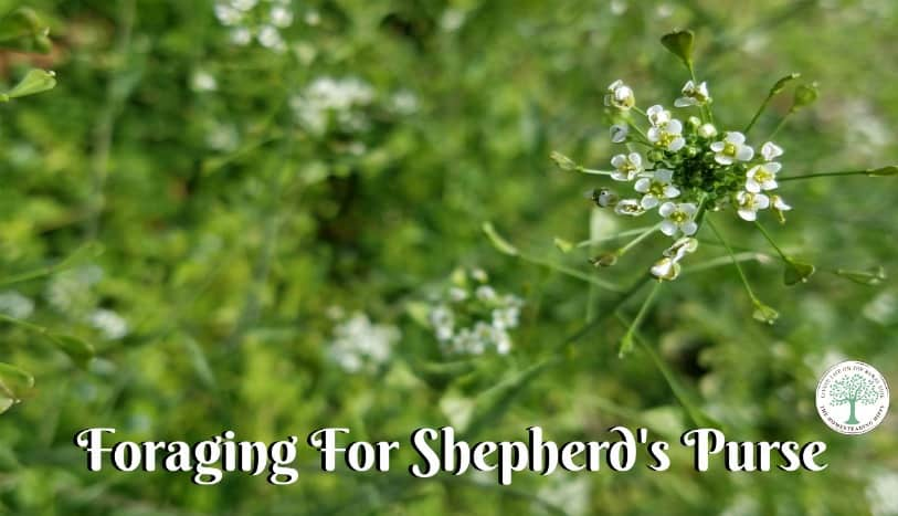 Learn how to forage for and use Shepherd's Purse! The Homesteading Hippy