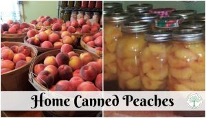 Learn how to can peaches at home for a tasty, nutritious treat all year long! The Homesteading Hippy