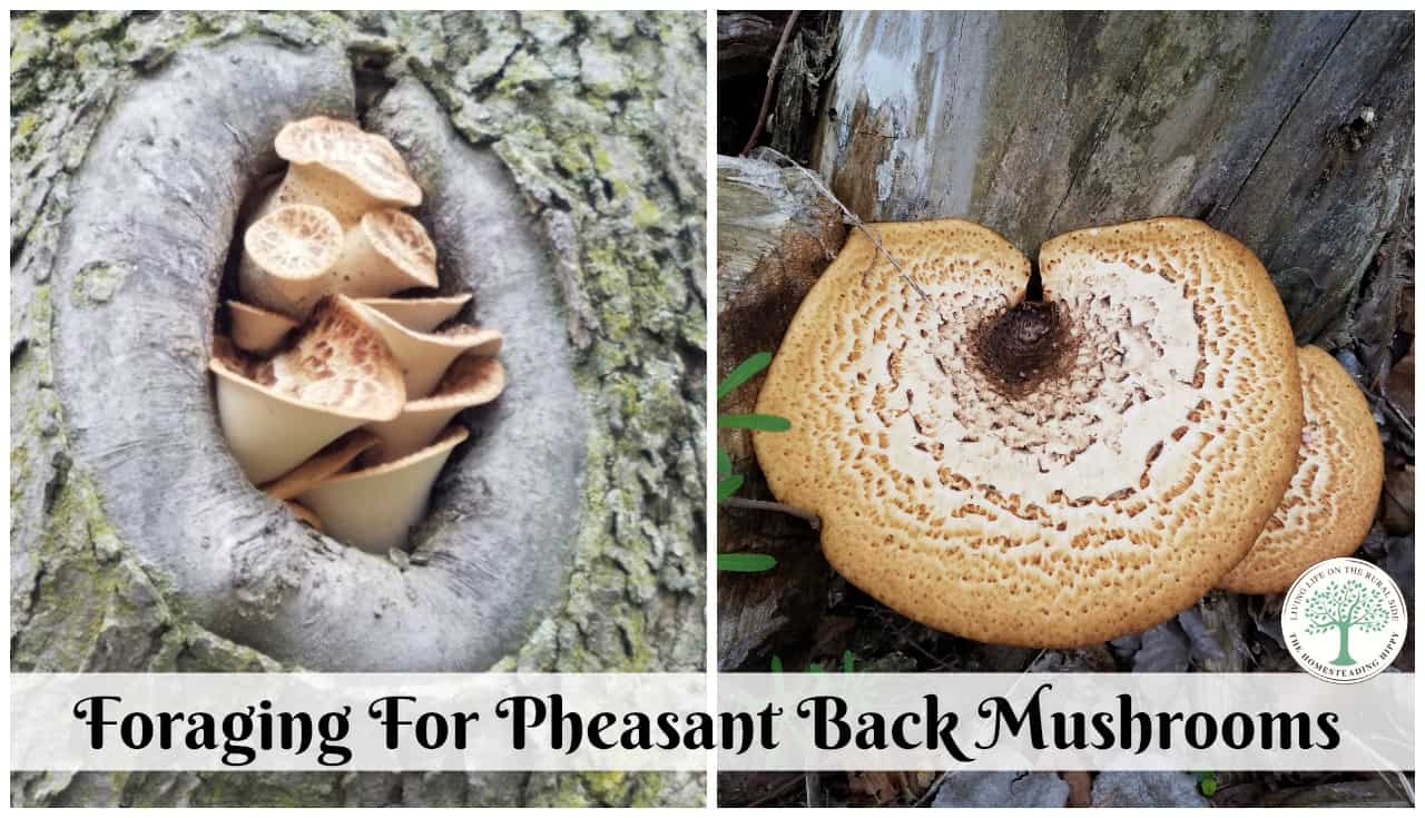 When foraging for mushrooms in the spring, look for these meaty, flavorful pheasant back mushrooms! The Homesteading Hippy