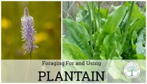 Plantain: How To Forage For And Use This Backyard Weed