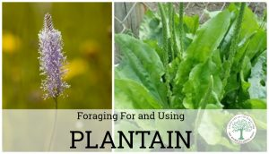 Plantain is an amazing weed! Forage for and use this common backyard weed! You'll never spray it again! The Homesteading Hippy