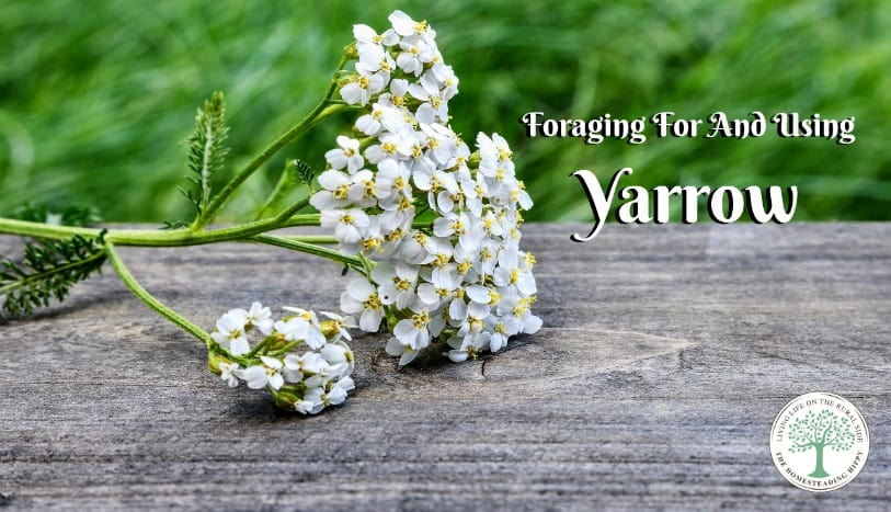 Learn why you should forage for and use yarrow! The Homesteading Hippy
