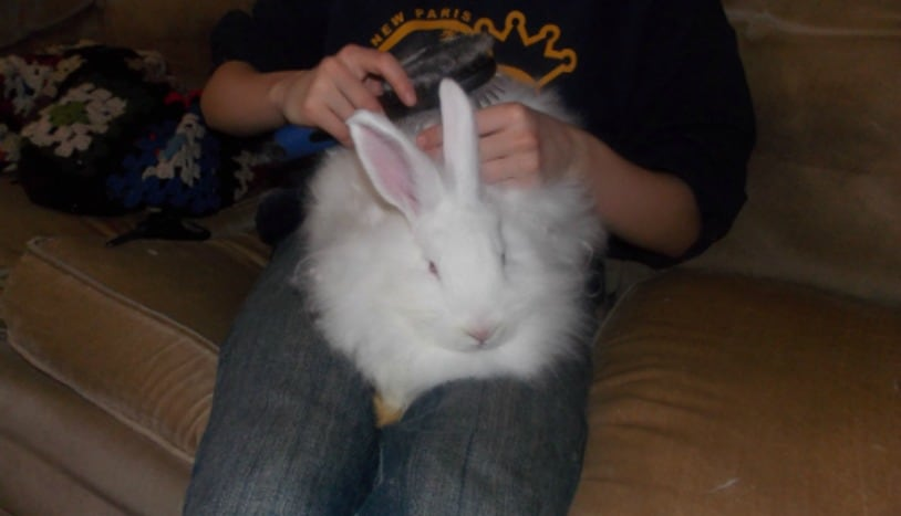Learning to raise fiber rabbits, such as French Angoras can bring you lots of wool for making hats, scarves, mittens and even blankets. Angora rabbit care is easy, but will need some extra steps over a meat or pet rabbit. The Homesteading Hippy