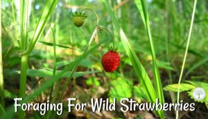 Foraging For Wild Strawberries