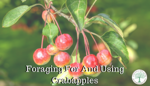 Foraging For CrabApples (Plus How To Use Them!)