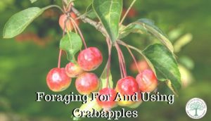 Foraging For CrabApples